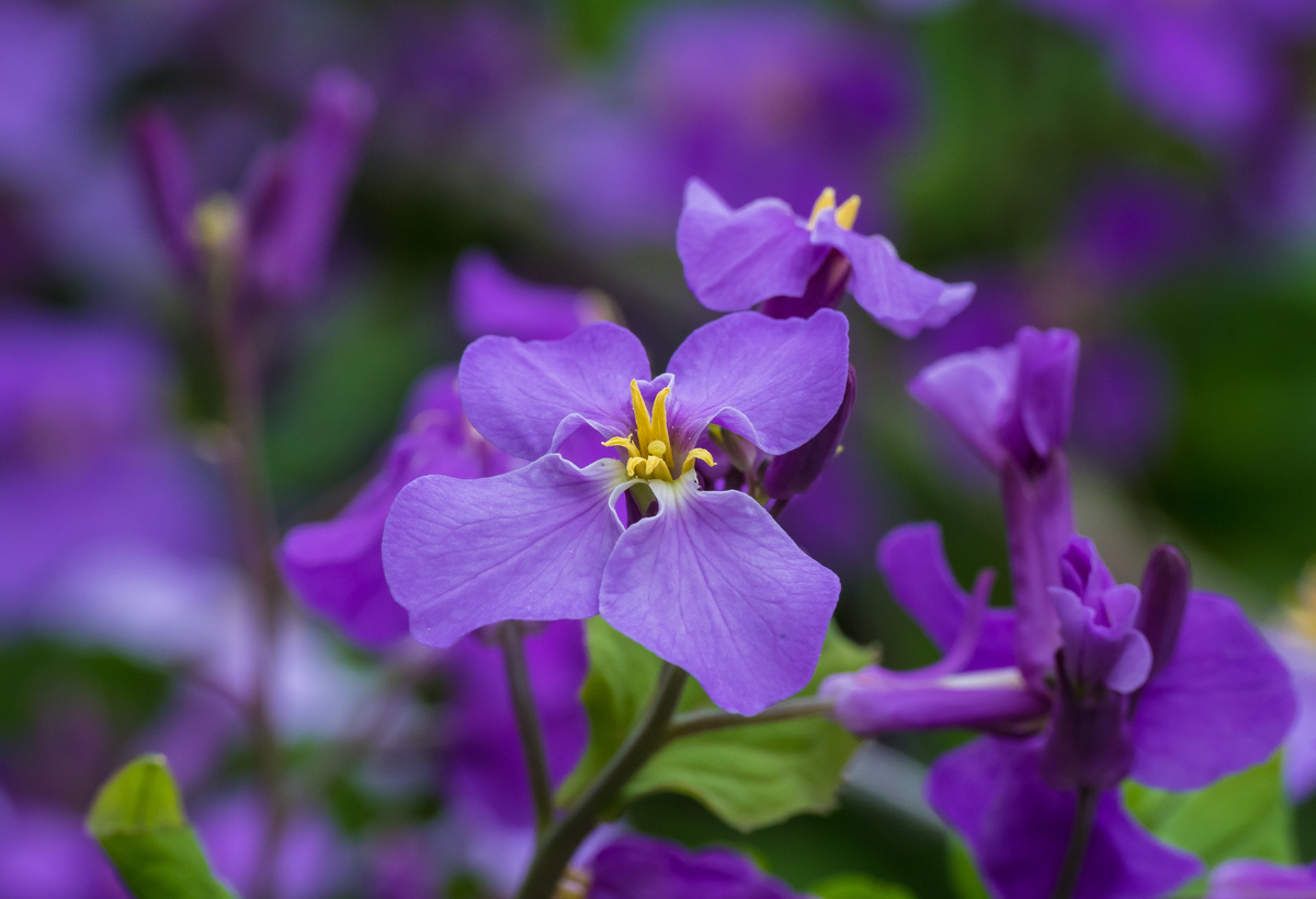 Novel Chinese Violet Cress Oil with Excellent Lubricant and Thermal Properties