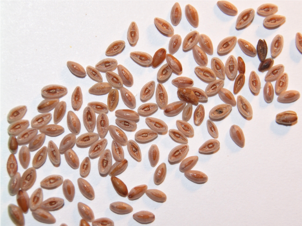 High Omega-3 Australian Psyllium Seed for Functional Food and Health Applications