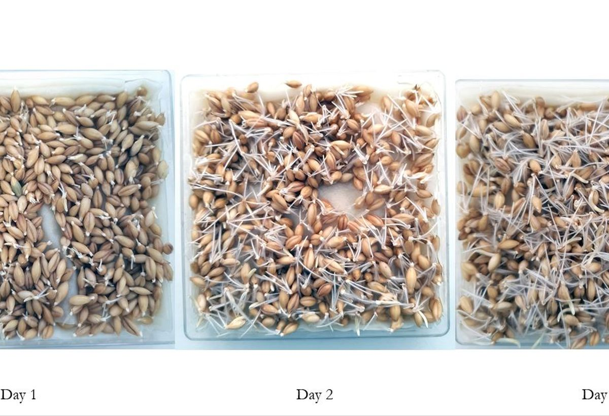 Method for Quantifying Protein Synthesis Rates in Barley Seed Germination