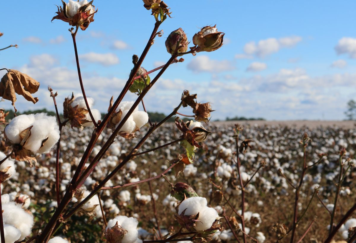 High Oleic Seed Oil Trait in Cotton Varieties to Elevate Oleic Acid Content of Cottonseed Oil